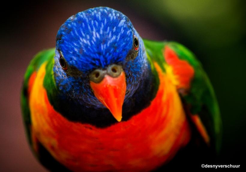 De Lori van de Blauwe Bergen - Wildlands Zoo Emmen