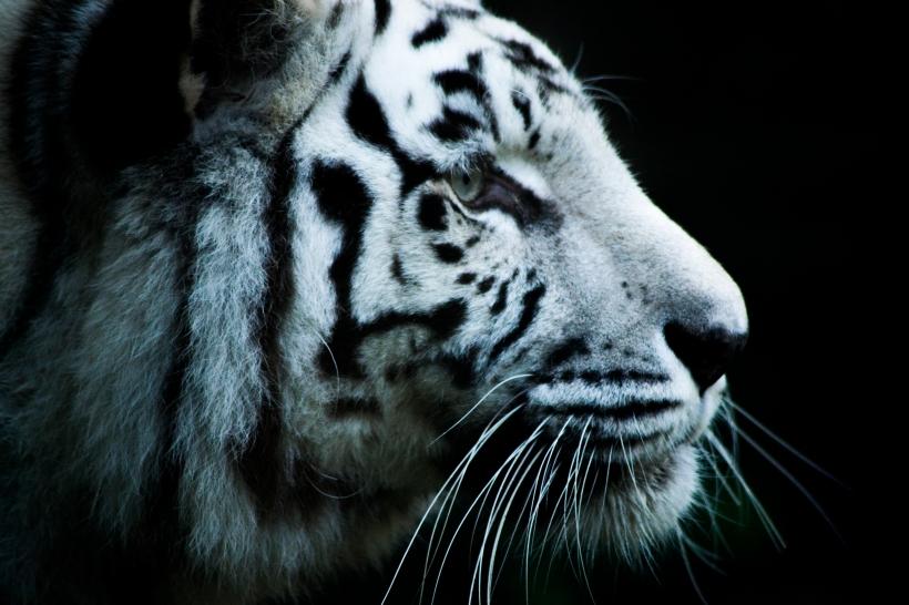 WItte tijger amersfoort